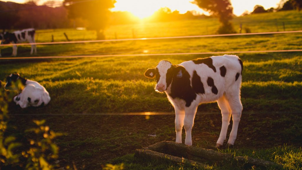 Col-Cowan-Farmers-Own-Dairy-Cattle